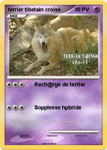 Pokemon terrier tibetain croisé