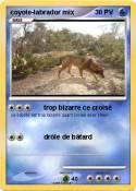 coyote-labrador
