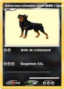 doberman-rottweiler