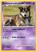 greyhound-malinois